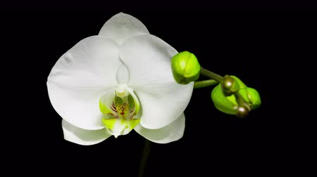 rostoucí : White phalaenopsis orchid flowers blossom opening slowly on black background. Dostupné videozáznamy