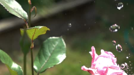 pétalas : water drops on red roses, slow motion 500 fps