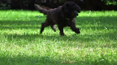 yards : Little Poodle puppy running in park, slow motion