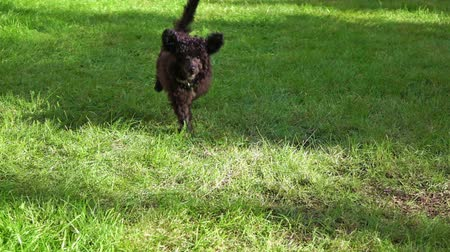 hunting dog : Little Poodle puppy running in park, slow motion
