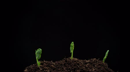 semínko : Growing Peas.4K Time Lapse of Pea Seeds Germination