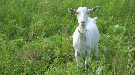 cabra : The goat chews, posing and meditating on the lawn Stock Footage
