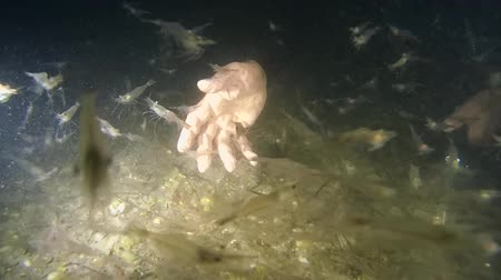 adspersus : A large number of shrimps on the background of the divers hands. Stock Footage
