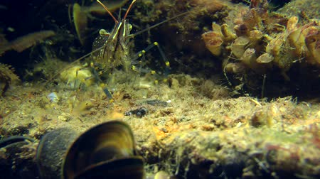 palaemon : Grass Prawn looking for food, and then leaves the frame. Stock Footage