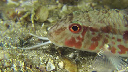 barbatus : Portrait of sea fish Red mullet, which puts tendrils and leaves frame, close-up.