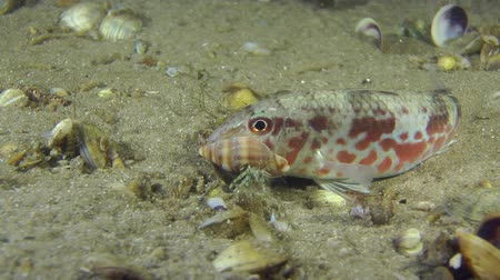 barbatus : Marine fish Red mullet past which crawls Small hermit crab. Stock Footage