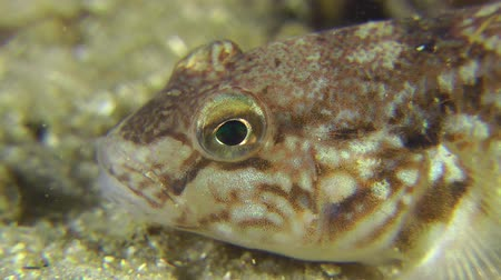 demersal : Portrait of Monkey goby, close-up. Stock Footage