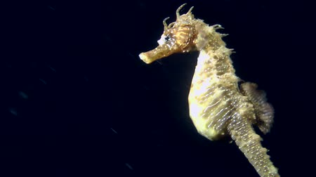 demersal : Seahorse slowly swims in the water column, and then leaves the frame, close-up.