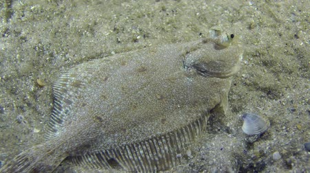 ryba : European flounder lies on the bottom, then slowly swims away from the frame. Dostupné videozáznamy