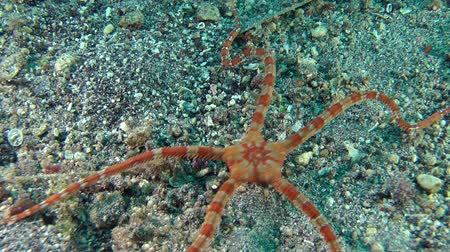 brune : Smooth Brittle Star (Ophioderma longicauda) crawling along the bottom, medium shot. Stock Footage
