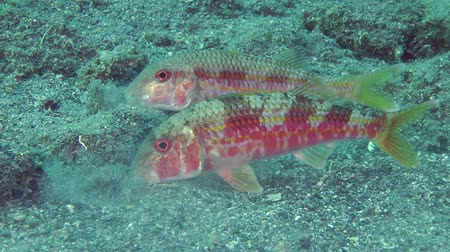surmullet : Marine fish Red mullet digs the sandy bottom in search of food.