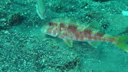 surmullet : Marine fish Red mullet digs the sandy bottom in search of food, accompanied by other fish.