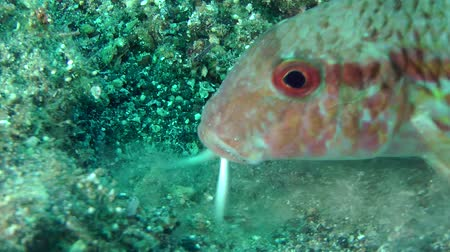 surmullet : Marine fish Red mullet digs the sandy bottom in search of food, close-up.