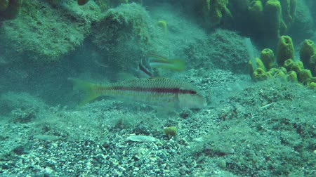 barbatus : Marine fish Red mullet digs the sandy bottom in search of food, accompanied by other fish.