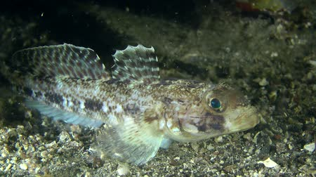 černoch : Black goby (Gobius niger) eating planktonic organisms, close-up.