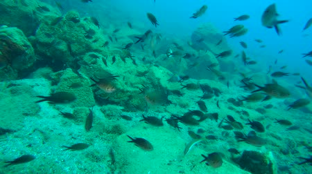 aegean sea : A large flock of Damselfish (Chromis chromis) in the background of the underwater landscape.