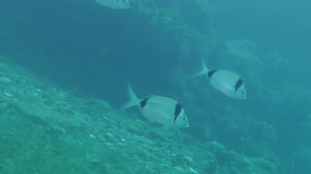 podwodny swiat : Several marine fish Common two-banded sea bream (Diplodus vulgaris) swims slowly against the background of the underwater rocks.