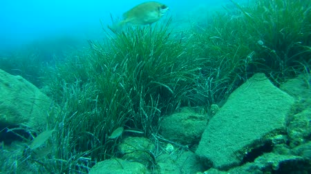 uw : Marine fish on the background of thickets Neptune Grass (Posidonia oceanica), Aegean Sea.