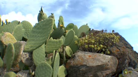 kaktusz : Thickets of prickly pear cactus on the side of the Greek island, Therasia, Greece.