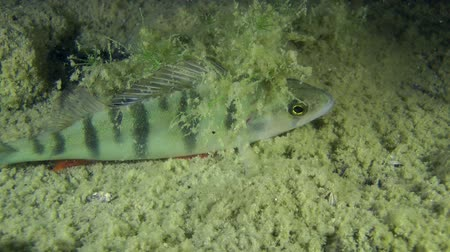 spearfishing : European perch (Perca fluviatilis) hiding under the water plant, close-up. Ukraine. Stock Footage