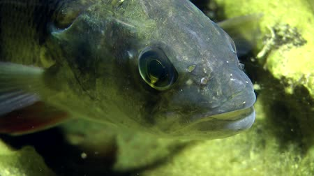 spearfishing : European perch (Perca fluviatilis): extreme close-up, front view. Ukraine.