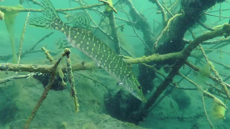 spearfishing : Northern pike (Esox lucius) obliquely standing among the branches of the flooded tree, medium shot. Ukraine.
