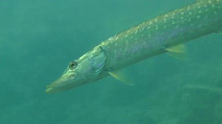 uw : Northern pike (Esox lucius) obliquely hangs in the water column, close-up. Ukraine. Stock Footage