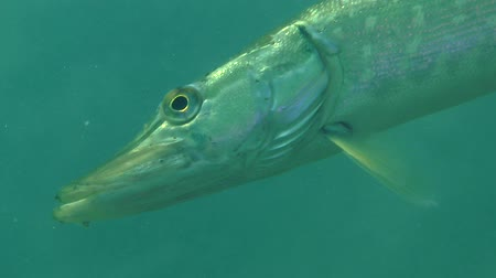 szczupak : Northern pike (Esox lucius) obliquely hangs in the water column, portrait. Ukraine. Wideo