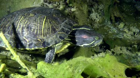 red bellied : Turtle Pond slider (Trachemys scripta) crawling along the bottom and goes out of the frame, medium shot.