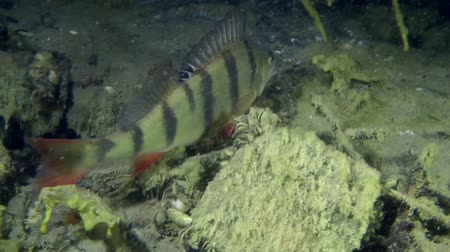 spearfishing : European perch (Perca fluviatilis) is slowly swims to the shelter, medium shot. Ukraine.
