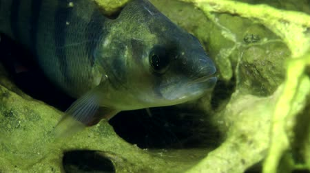 spearfishing : European perch (Perca fluviatilis) standing in the shelter, close-up, front view. Ukraine.