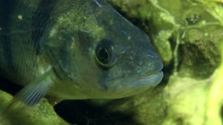 spearfishing : European perch (Perca fluviatilis) standing in the shelter, portrait, front view. Ukraine.