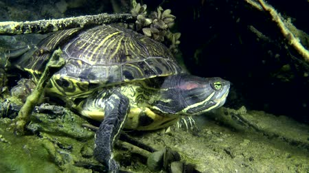 red bellied : Turtle Pond slider (Trachemys scripta) sits at the bottom, then turns and walks out of the frame, close-up.