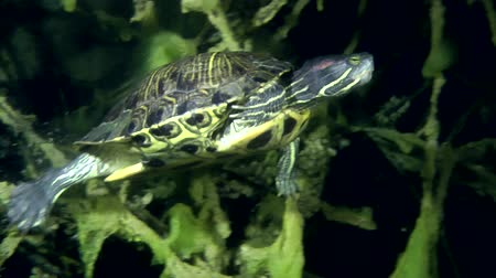 scripta : Turtle Pond slider (Trachemys scripta) sits among the branches, and then swims away from the frame, medium shot.