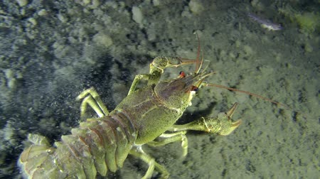 uw : European crayfish crawling along the muddy bottom, leaving behind a cloud of dregs. Ukraine. Stock Footage