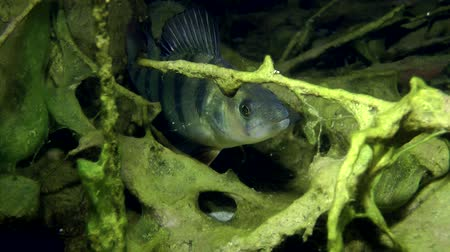 spearfishing : European perch (Perca fluviatilis) standing in the shelter, medium shot, front view. Ukraine.