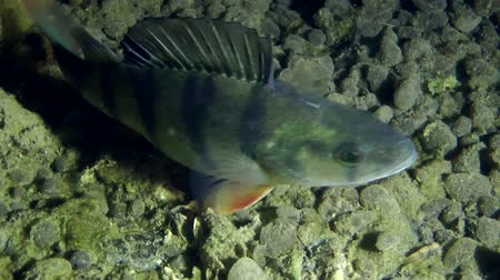 spearfishing : European perch (Perca fluviatilis) standing on the background of the muddy bottom, then leaves the frame, close-up. Ukraine. Stock Footage
