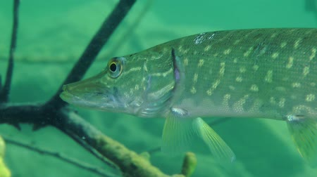 uw : Northern pike (Esox lucius) hangs among the branches of the flooded tree, close-up. Ukraine. Stock Footage