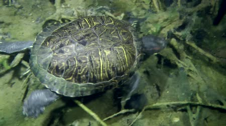 scripta : Turtle Pond slider (Trachemys scripta) crawling along the bottom and goes out of the frame, medium shot, top view. Stock Footage