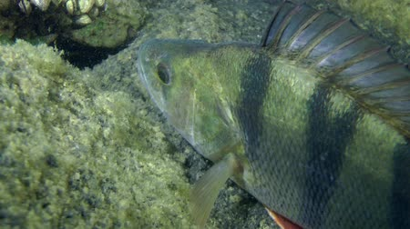 spearfishing : European perch (Perca fluviatilis) standing among the rocks, close-up. Ukraine. Stock Footage