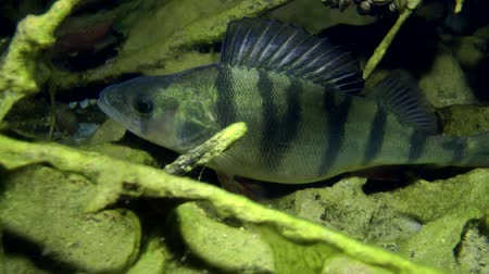 spearfishing : European perch (Perca fluviatilis) standing in the shelter, and then leaves the frame, close-up. Ukraine.