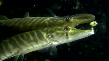 spearfishing : Northern pike (Esox lucius): reflection in the water surface, close-up. Ukraine.