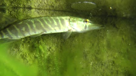 uw : Northern pike (Esox lucius) slowly rises to the water surface, medium shot. Ukraine.