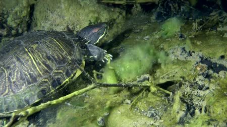 scripta : Turtle Pond slider (Trachemys scripta) crawling up on the underwater slope and leaves the frame, close-up. Stock Footage