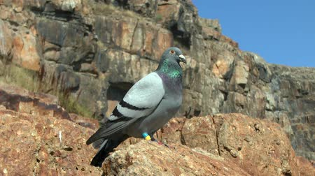 soutěže : A homing pigeon resting on coastal rocks of the island during the flight across the sea.