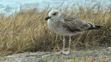 argentatus : Young silvery seagull in the gusts of strong wind on the sea shore. Stock Footage