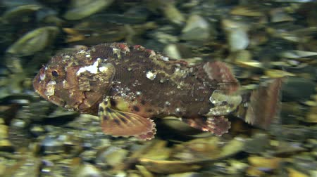 erythraea : Black scorpion fish (Scorpaena porcus) swims above the bottom and hiding behind a rock. Stock Footage