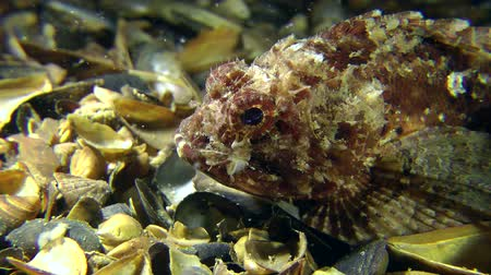 kalakeitto : Black scorpion fish (Scorpaena porcus) changes its position, close-up.
