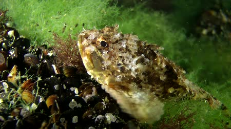 erythraea : Black scorpion fish (Scorpaena porcus) in a thicket of green algae, close up. Stock Footage