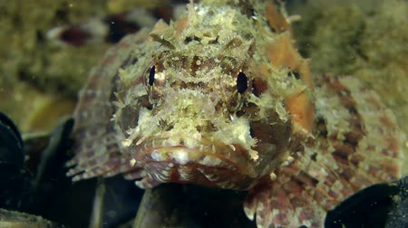 kalakeitto : Black scorpion fish (Scorpaena porcus) leaves the frame, close-up.